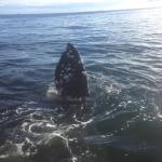 The whale waving good bye as it left to join the rest of the pod!