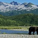 Kodiak is know for big brown bears