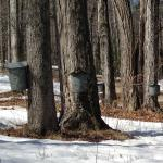 Tapping Maple Sap for pure NH syrup boiled from tree sap right behind the Sutton House.