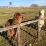 Friendly Llamas!