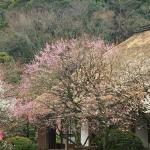 2015百草園梅まつり