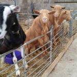 Goats wanting feeding!