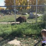 pacing bear