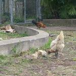 Chickens outside of Coletta's