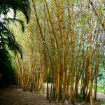 bamboo trees found within the waterfall location