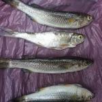 tarpon feed on these in rio san juan nicaragua