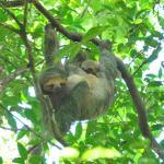 Sloths during breakfast