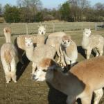 Some of the Alpacas