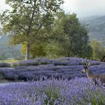 carmel-valley-ranch-deer-in-lavender