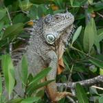 Lounge-singing Iguana