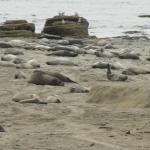 Elephant seals, March 2015