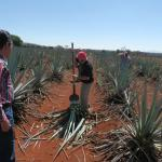 Chef Erv Agave harvest Tequila Ocho