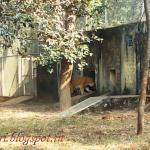 A tiger in an encloser at Birsa Zoological Park,Ormanjhi,Ranchi