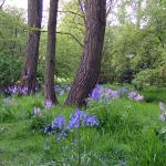 bluebells in park