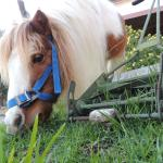 Pony at Oleastro