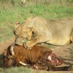 Lunch is served Tsavo west