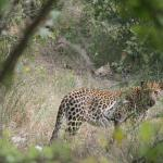 Leopard (riesen Glück)