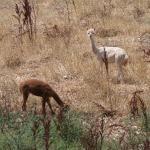 Alpacas from deck