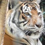 Sumatran Tiger at Mogo Zoo