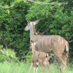 Kudu mother & baby