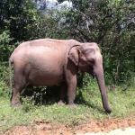 Dräktig elefantko i Yala