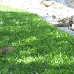 Iguana and squirrel on the Riverwalk.