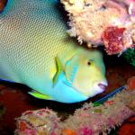 a blue angelfish at the Sheridan