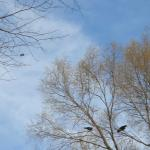 Trees branching and crows lingering encourage and inspire during a stroll!