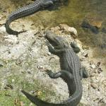 Gators near a rest stop on Highway 41