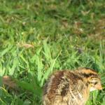 A tiny Helmeted Guineafowl