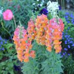 Orange snapdragons......