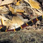 Coral snake I almost stepped on