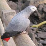 Chaplin, the resident African grey parrot