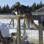 La ferme des traîneaux à chiens :-)