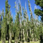 poplars provide much relief from the winds . we had brilliant weather