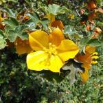 Native wildflowers in bloom at Rancho Santa Ana Botanic Garden