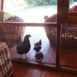Chickens out on the patio!