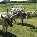 Texas Long Horns