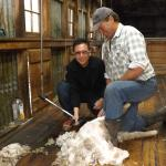 Guest having a go at shearing a sheep