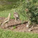 My Curlew friends
