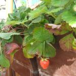 New strawberries growing on the terrace