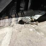 Iguana in the grounds