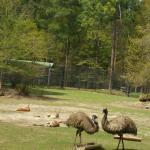 Emu and kangaroos
