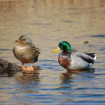 Mallards (female & male)