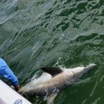 Captain Andrew Tail Roping Shark