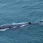 Sperm whale from Air Kaikoura Flight
