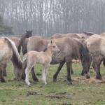Wildpferdebahn im Merfelder Bruch