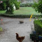 Chickens enjoying their freedom