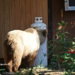bear checking out the kitchen hut