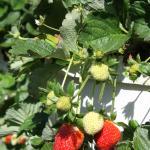 Plump Delicious U-Pick Strawberries